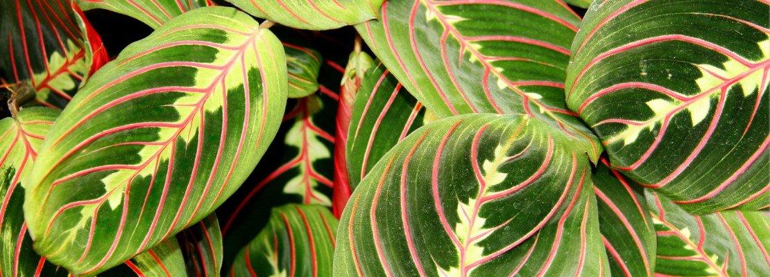 Il rinvaso della calathea cose di casa for Maranta pianta