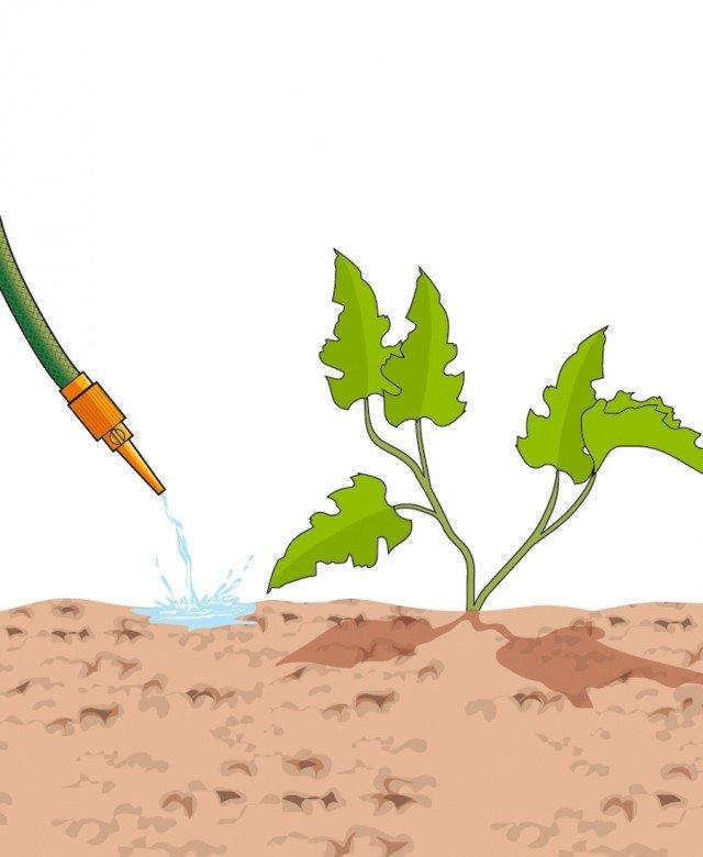 3. Dopo la semina il terreno deve essere bagnato a pioggia. Poi, da quando crescono le piantine, si deve irrigare lentamente senza bagnare le foglie ma facendo scorrere l'acqua direttamente a terra nella zona delle radici. Con la giusta irrigazione, in pochi mesi, saranno pronti fiori e frutti.
