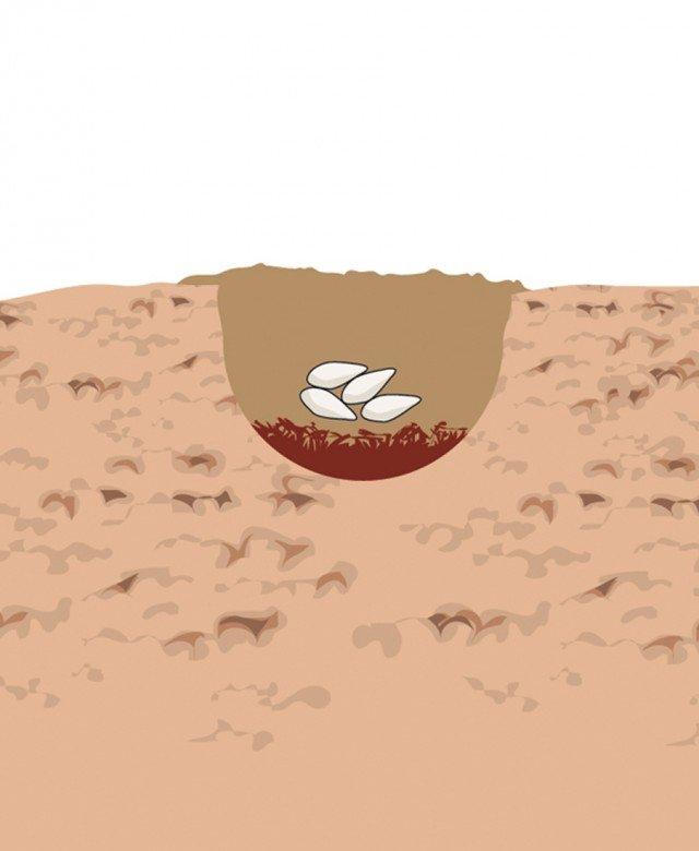 2. Per concimare si inserisce sul fondo della buca lo stallatico, lo si ricopre con uno strato di terreno e sopra si posano 3-4 semi. Quindi si riempie la buca con il restante  terreno.