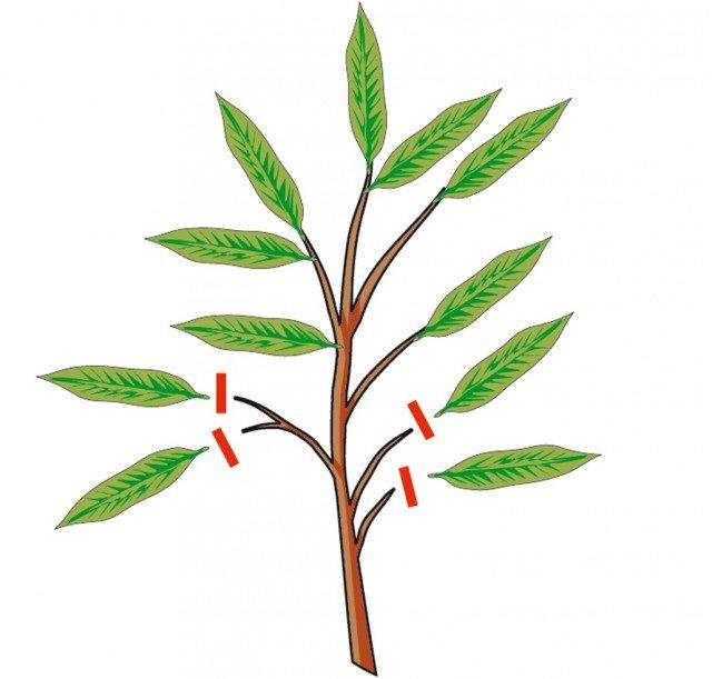 2. Togliere le foglie nella parte inferiore dei rami prelevati.