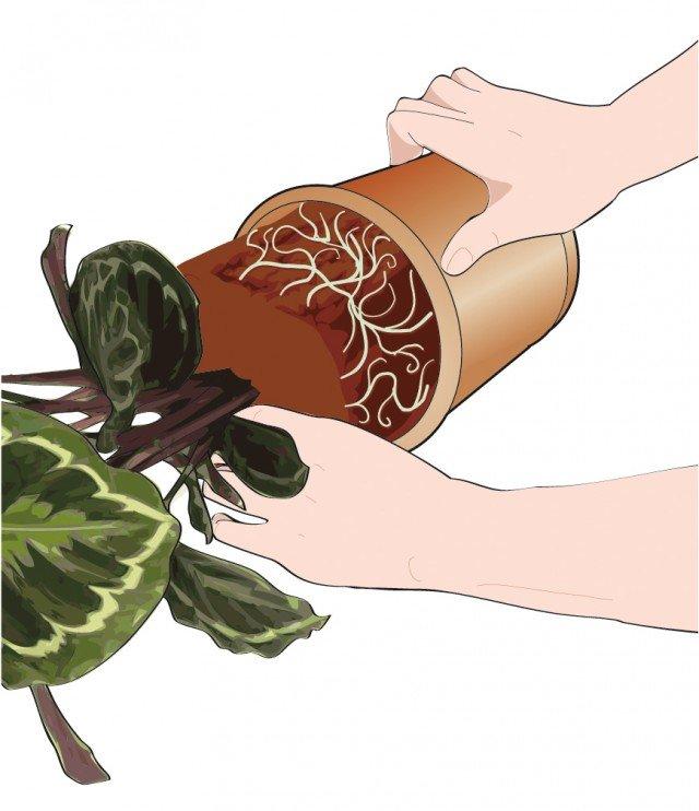 2. Estrarre delicatamente la pianta dal vecchio vaso aiutandosi con alcuni colpetti sul bordo.