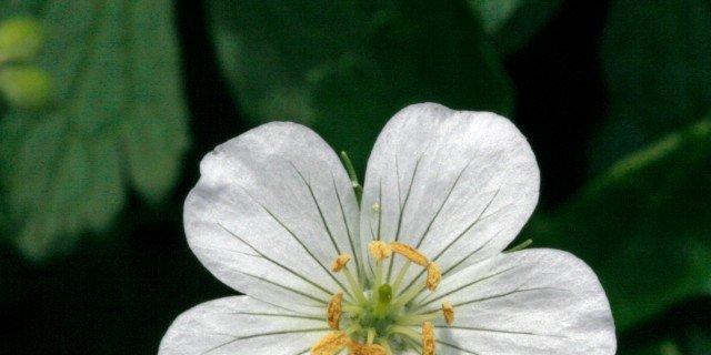 Geranium maculatum Album