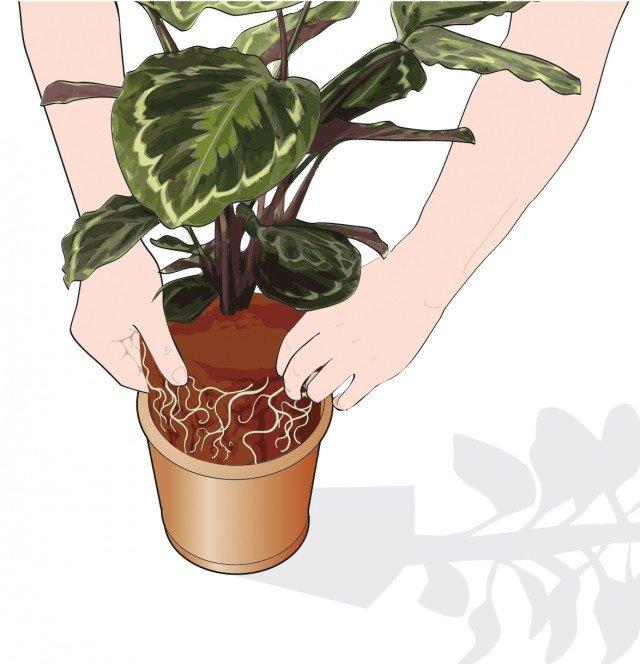 3. Inserire la pianta nel vaso nuovo e riempire lo spazio utilizzando terriccio per piante acidofile.