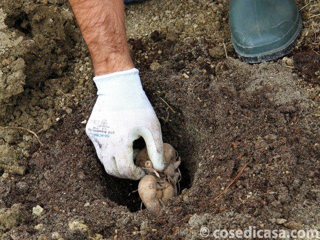 4. Asportare un volume di terra pari all'ingombro della radice e metterlo da parte. Inserire la radice a 5-10 cm di profondità e ricoprirla con la terra già preparata sino a livellare la buca. Alla fine premere delicatamente il terreno, evitando tuttavia di pressarlo troppo. Terminata la messa a dimora è opportuno effettuare un'abbondante irrigazione, per evitare che le radici si disidratino e per favorire un veloce germogliamento.