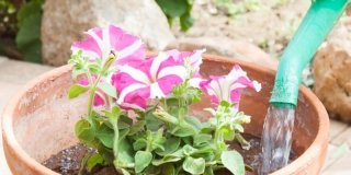 petunia viola bianca