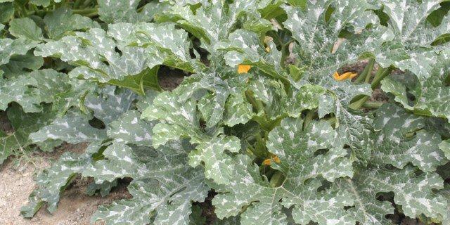 È il momento di seminare le zucchine