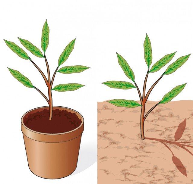 4. Non appena le talee avranno messo le radici si potrà decidere se piantarle in vaso o in piena terra.