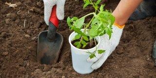 piantare pomodori in orto