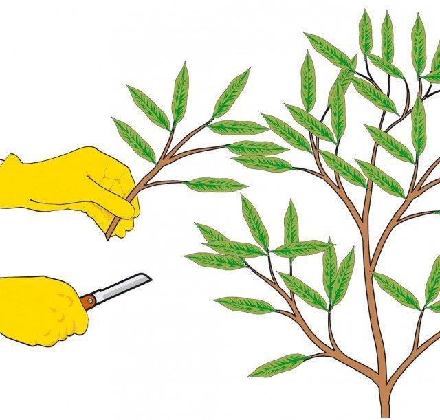 1. Indossare i guanti e munirsi di una lama sterilizzata e molto affilata. Prelevare da una pianta in buona salute e rigogliosa, due o tre segmenti apicali di ramo che misurino dai 15 ai 20 centimetri.