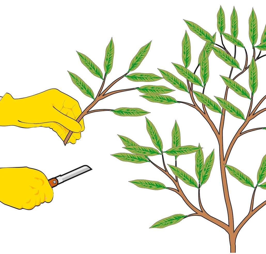 oleandro oleandri : Ricerche correlate a Periodo per potatura oleandro