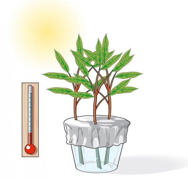 3. Inserire ogni ramo in un foro della carta stagnola con cui si avrà avuto cura di ricoprire un bicchiere colmo d'acqua; il bicchiere con le talee andrà sistemato in posizione luminosa e lasciato ad una temperatura costante di 18-20°C.