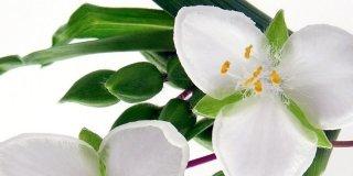 tradescantia petali bianchi