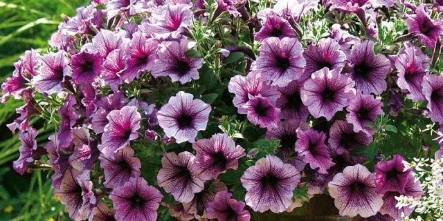 Petunie e surfinie: fiori a volontà per tutta la stagione