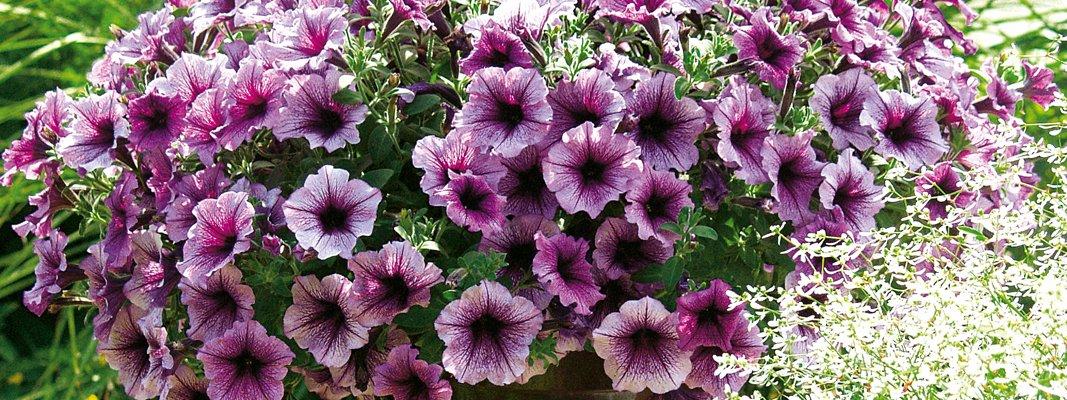 Piante Surfinie : Petunie e surfinie fiori a volontà per tutta la stagione