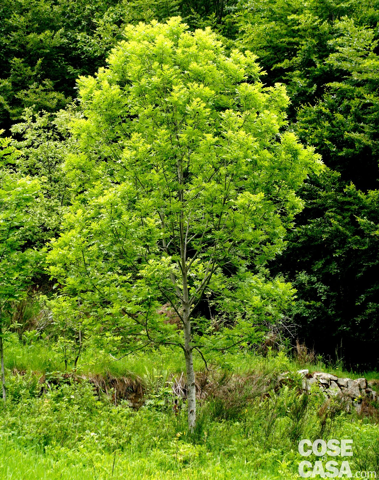 Vuoi l ombra in giardino scegli le piante giuste cose - Alberi sempreverdi da giardino ...