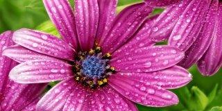 gazania fiore viola con goccioline