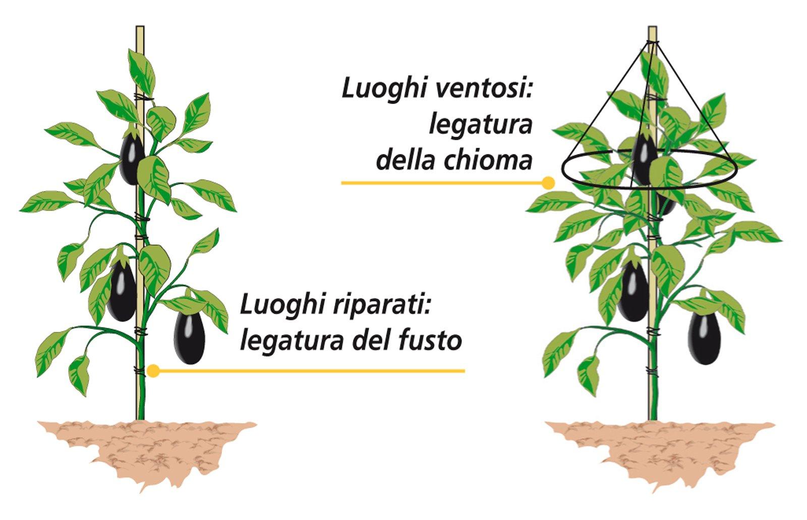 Sostegni Per Pomodori In Vaso i consigli per coltivare melanzane perfette. trapianto