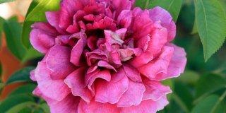 rosa kronenburg