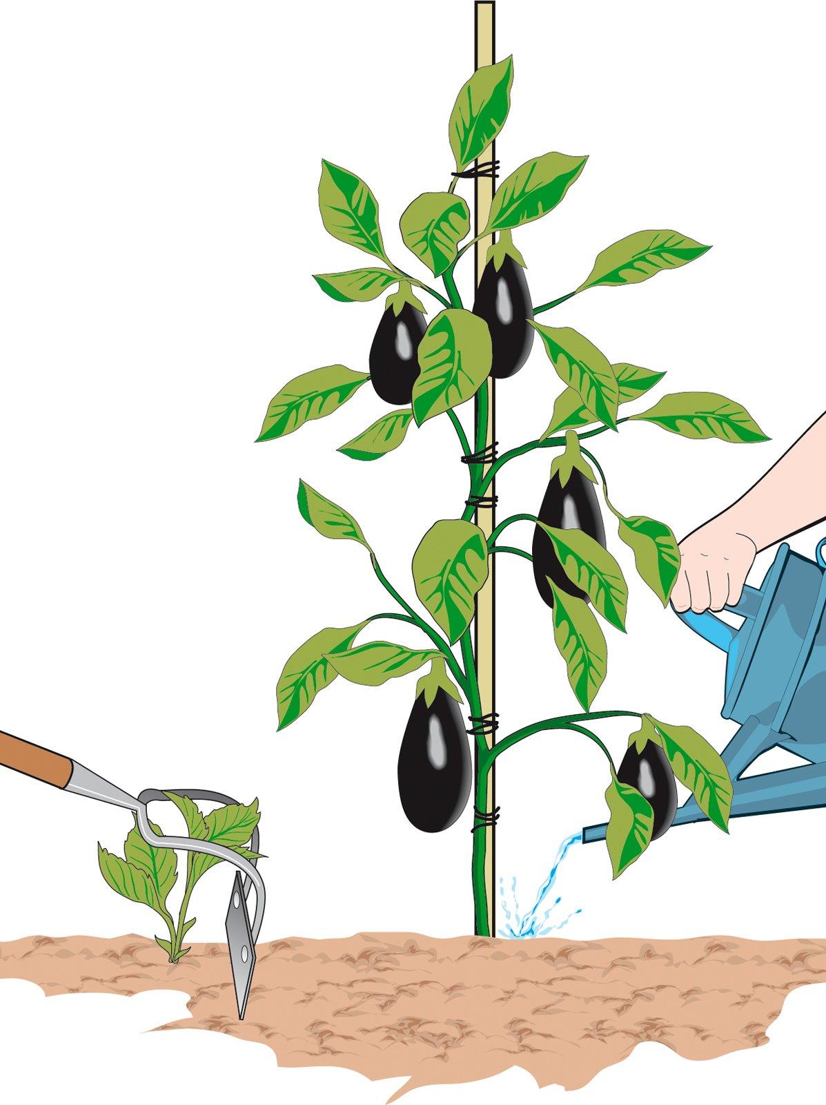 I consigli per coltivare melanzane perfette cose di casa for Pianta di melone