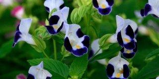 Torenia fournieri - Torenia pianta