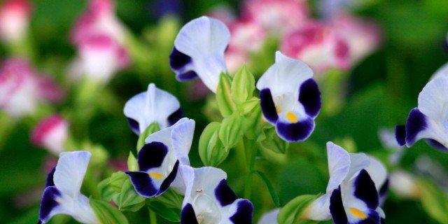 Torenia fournieri – Torenia pianta
