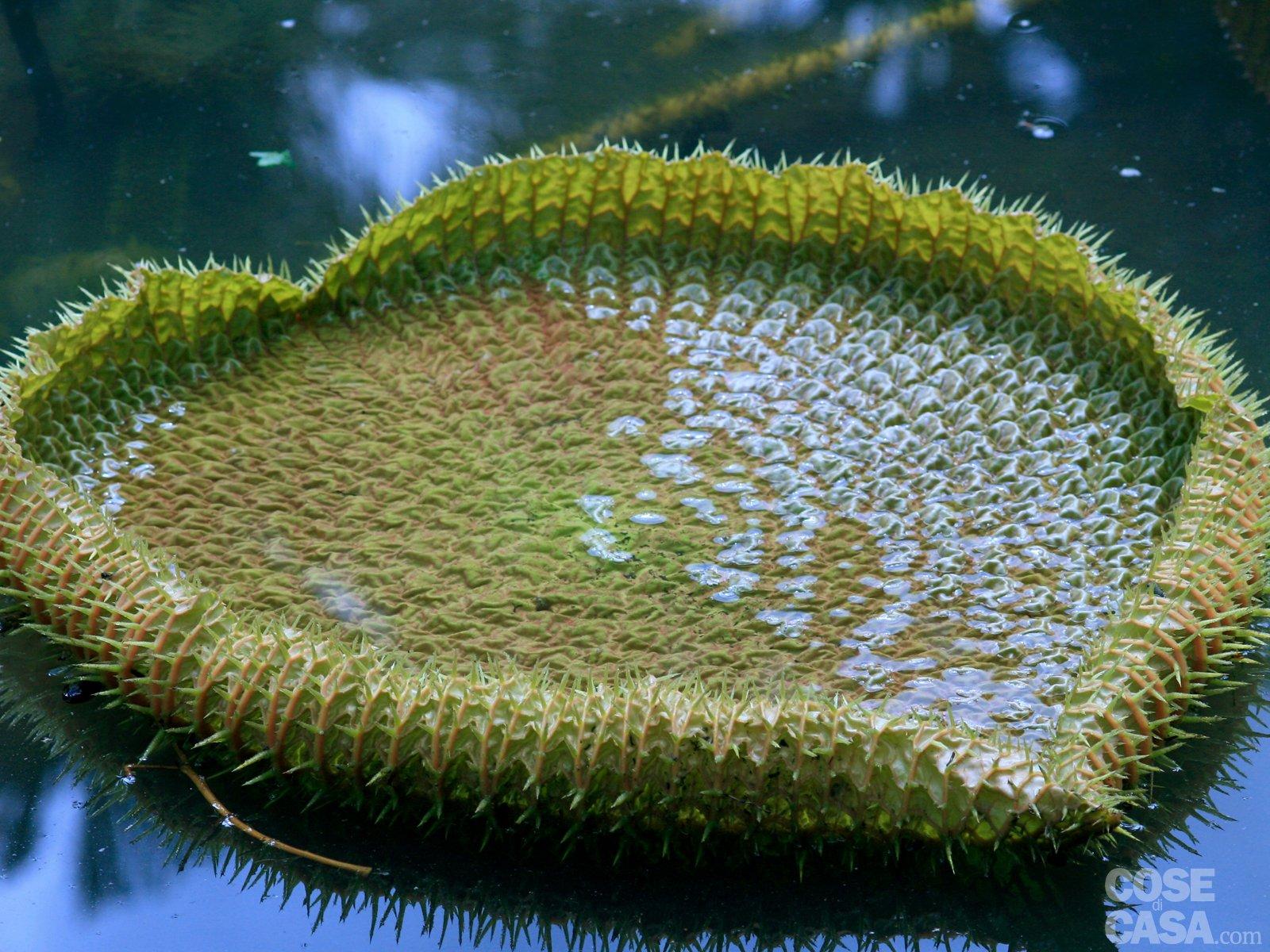 Mini Laghetto Per Terrazzo loto e ninfea: i fiori per il laghetto. come coltivarli