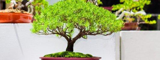 Fiori da appartamento cose di casa - Cura dei bonsai in casa ...