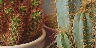 Cactus pianta grassa