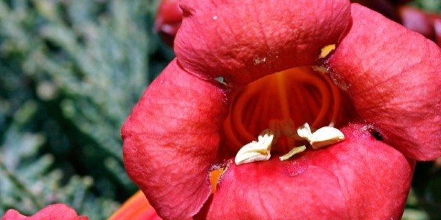 Campis radicans – bignonia