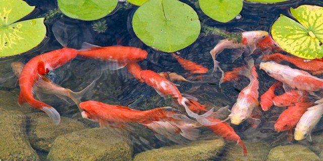 Carpa koi il pesce pi ornamentale per la vasca o il for Carpa pesce rosso