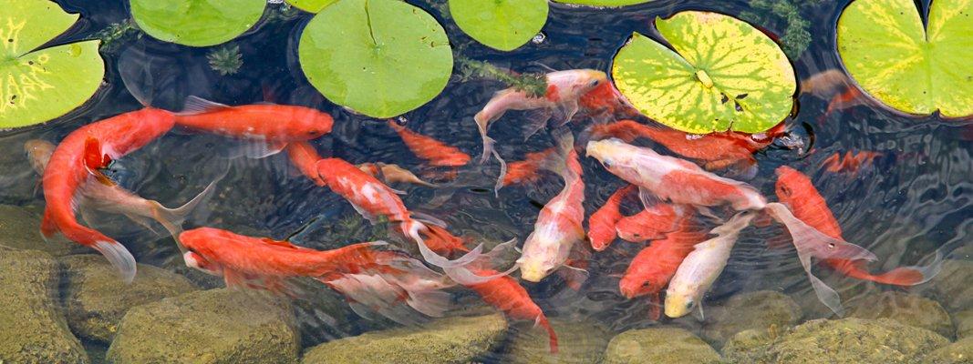 Carpa koi il pesce pi ornamentale per la vasca o il for Carpa koi costo