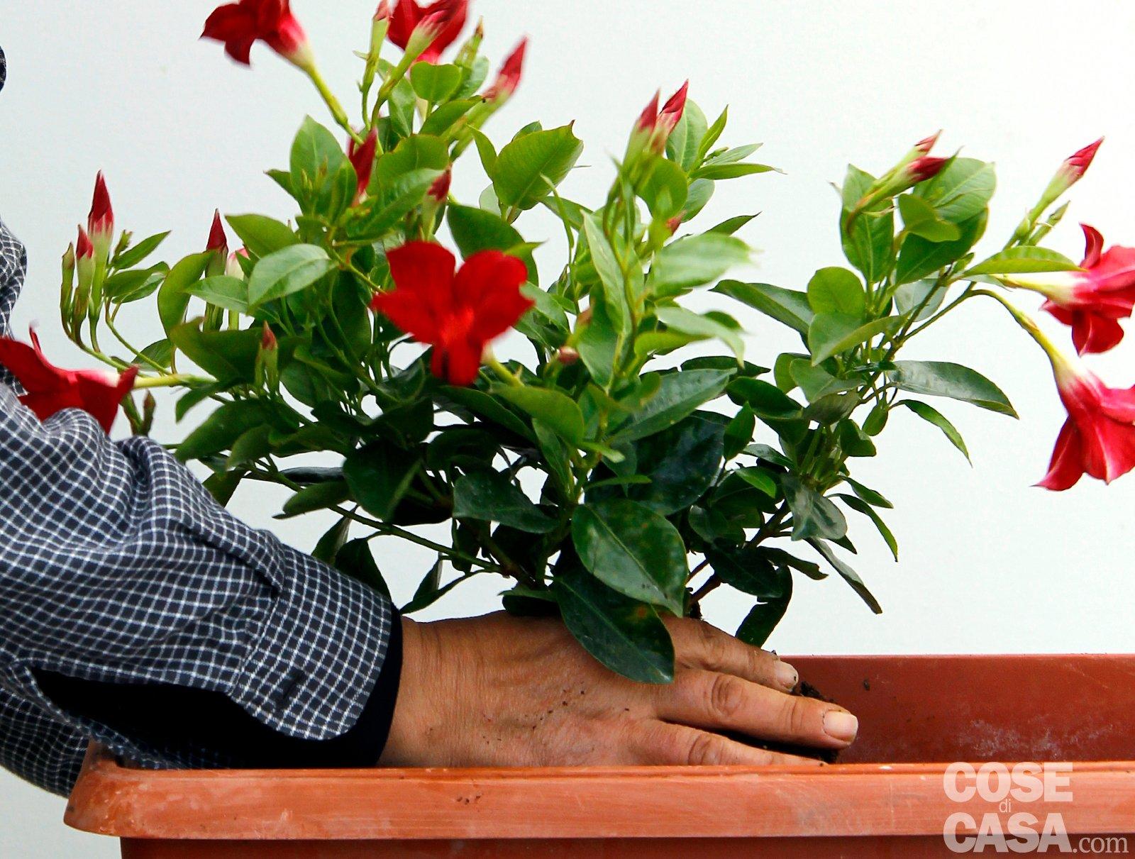 Sul davanzale una cassetta fiorita tutta l 39 estate cose for Piante in vaso pieno sole