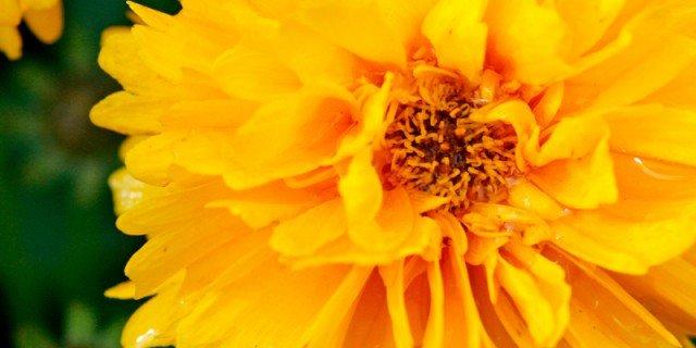 Coreopsis grandiflora – Coreopsis