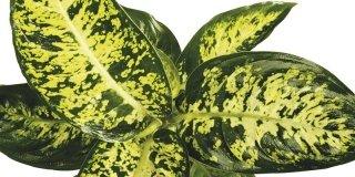 dieffenbachia pianta