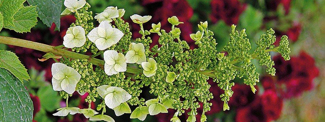 Hydrangea quercifolia burgundy cose di casa for Ortensia quercifolia