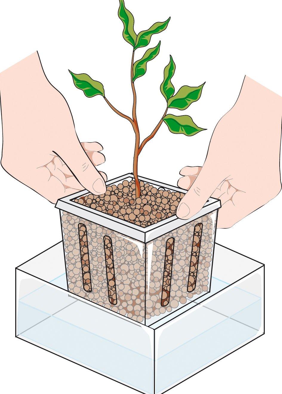 Cura Del Ficus Benjamin riprodurre il ficus benjamin per talea. procedimento - cose