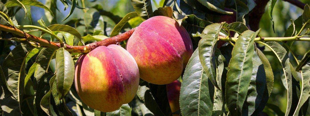 Potare gli alberi da frutto cose di casa for Piccoli alberi da frutto
