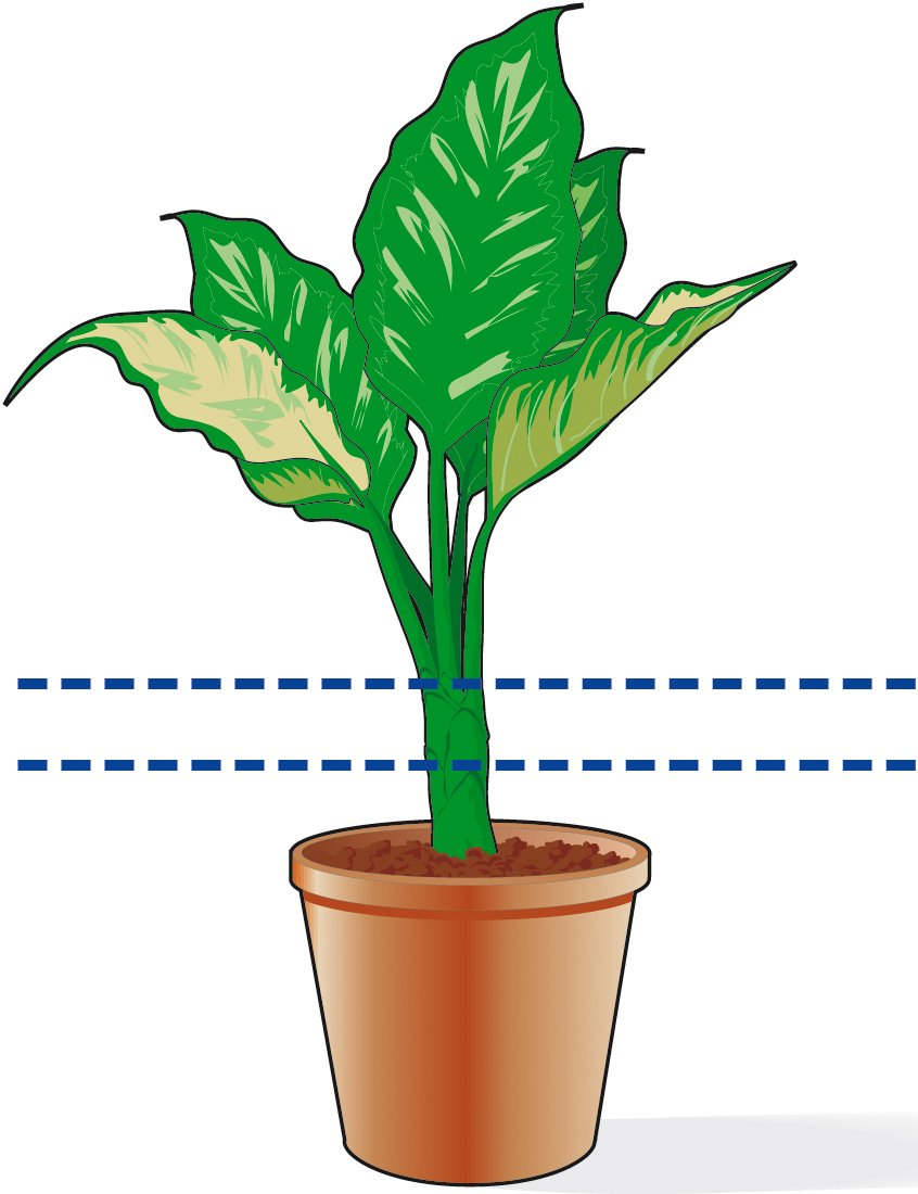 Ficus Benjamin Perde Foglie potare la dieffenbachia se si spoglia alla base - cose di casa