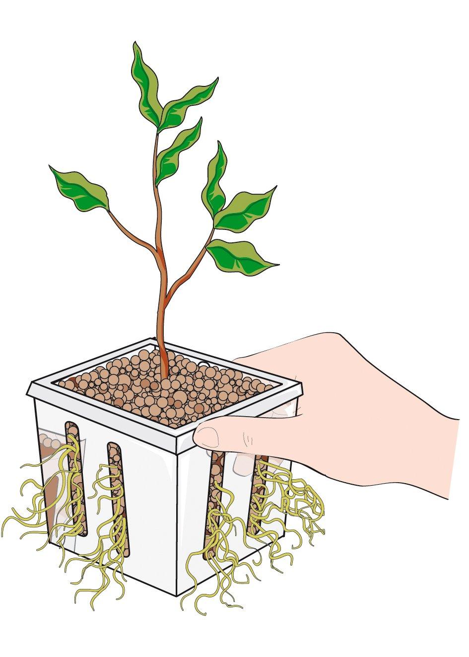 Riprodurre Il Ficus Benjamin Per Talea Cose Di Casa