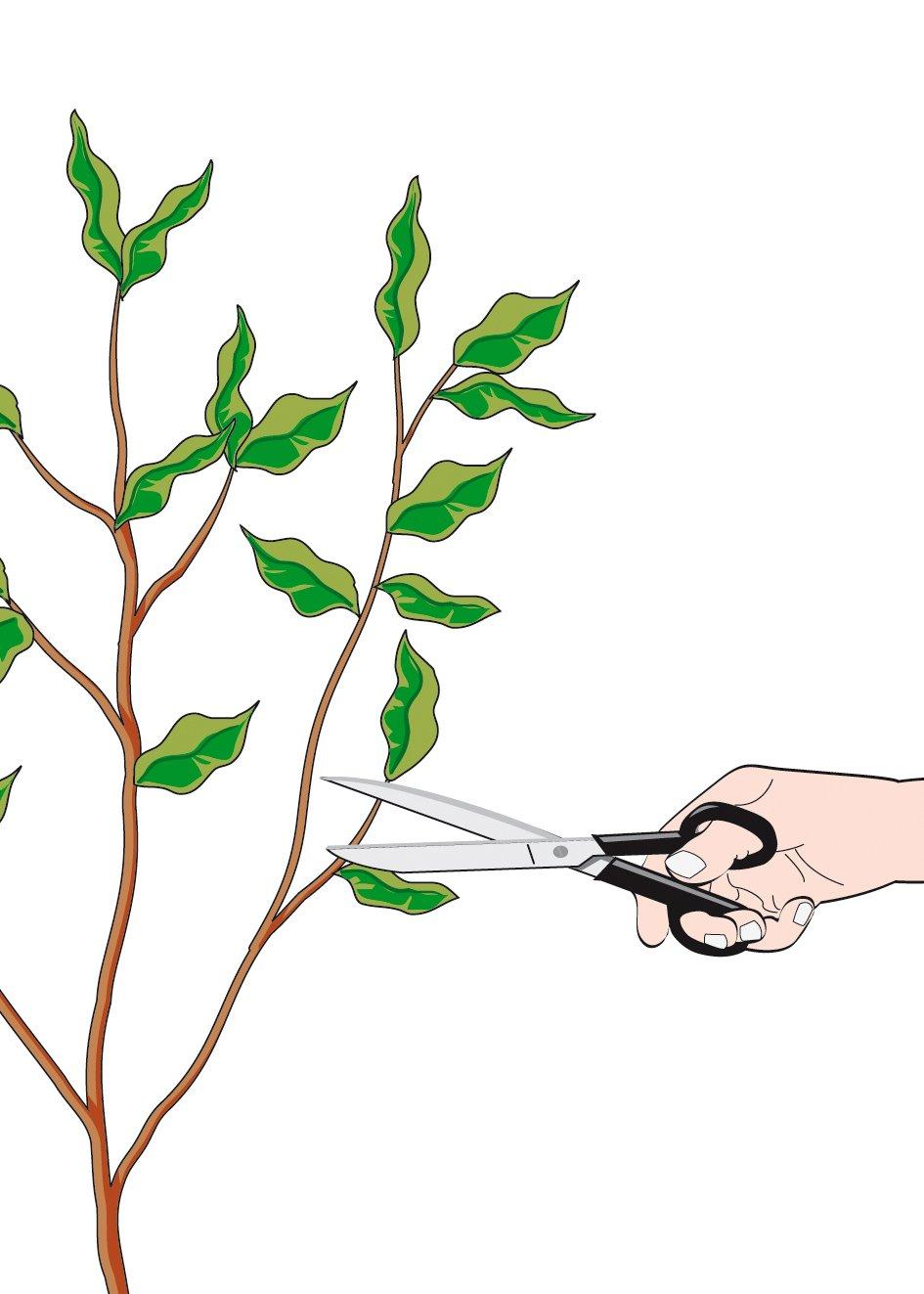 Come Riprodurre Il Ficus Benjamin riprodurre il ficus benjamin per talea. procedimento - cose