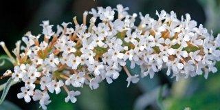 Buddleia davidii varietà White profusion