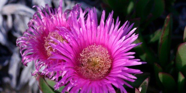 Portulaca, delosperma, fico degli ottentotti: tre specie che amano il sole