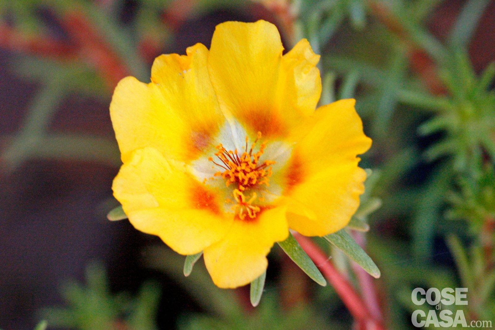 Portulaca delosperma fico degli ottentotti tre specie for Piante che amano il sole