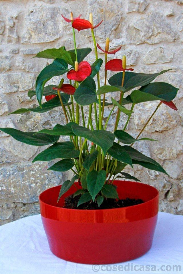 3.  La prima pianta da inserire nel contenitore, in posizione centrale, è quella più voluminosa, ovvero l'anturio (Anthurium andreanum). È consigliabile scegliere una pianta coltivata in vaso di 16-18 centimetri di diametro e profondo 11-12 centimetri, alta, senza contenitore, circa 30 centimetri. Se l'anturio è molto rigoglioso, è opportuno eliminare alcune foglie basali, seppur sane, al fine di favorirne la migliore collocazione nella ciotola.