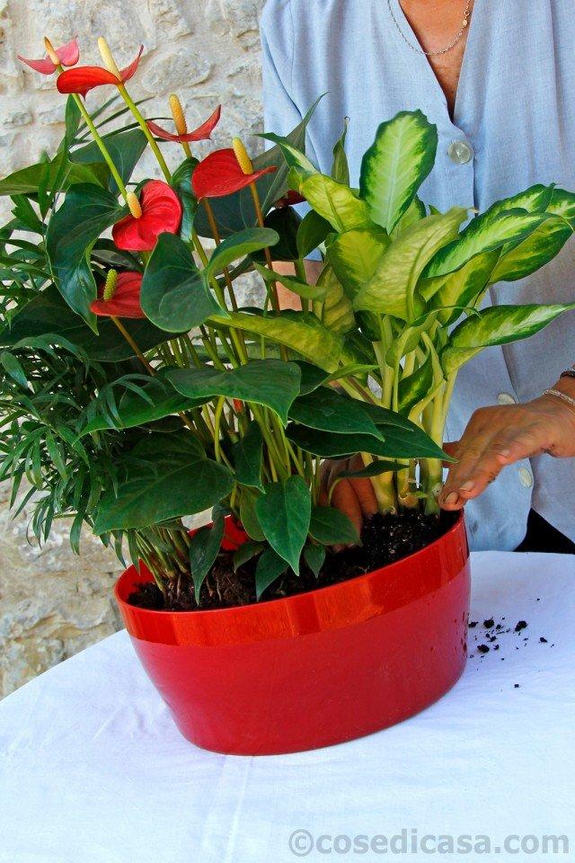 5. Poi, quasi allineata con le due precedenti piante, si pone a dimora la dieffenbachia (Dieffenbachia exotica). La scelta delle piante è funzionale anche alle creazione di un netto contrasto cromatico: al verde della dieffenbachia e della camadorea, si oppongono le foglie rosso-aranciate del croton e le brattee rosse dell'anturio.