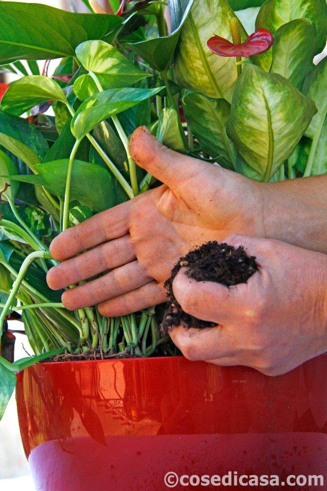 8. Dopo la messa a dimora, il terriccio attorno alla base delle piante va ben premuto, ma senza schiacciarlo troppo. Al termine del lavoro, il livello del substrato deve trovarsi all'incirca 1 cm al di sotto dell'orlo del contenitore, in modo da poter raccogliere facilmente l'acqua di irrigazione. Subito dopo la messa a dimora, le piante vanno bagnate, sia dando acqua al substrato, per favorirne l'attecchimento, sia nebulizzando il fogliame.