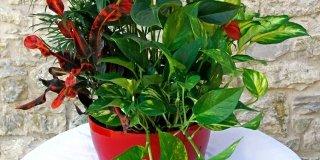 piante appartamento composizione anturio camadorea dieffenbachia croton potos