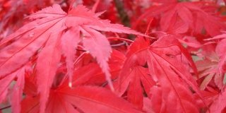 acero giapponese foglie rosse