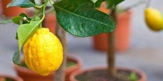 limone sull'albero