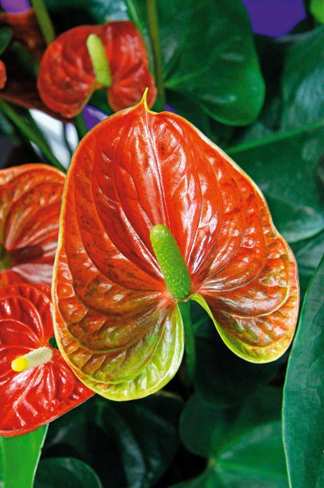 anthurium-amstudio